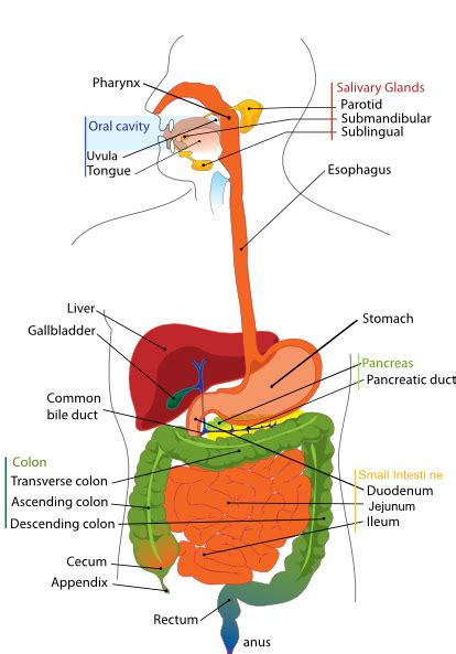 labeled digestive system diagram digestive system diagram en clip at clker vector