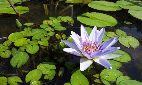 fiore di loto significato buddista ifioridimark 183 buddista 183 coltivazione 183 significato