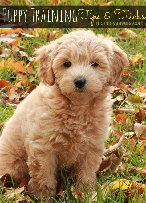 goldendoodle puppy how much food 17 best images about labradoodle on