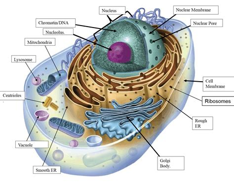 diagram of an animal cell south pontotoc biology plant and animal cell diagrams