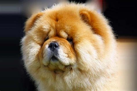 Do Chows Shed by Chow Chow Breed Information American Kennel Club
