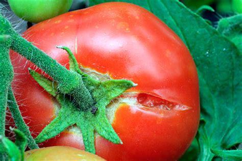tomatoes fruit splitting  crackingrhs gardening