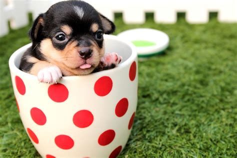 a of dogs free picture cup canine chihuahua animal