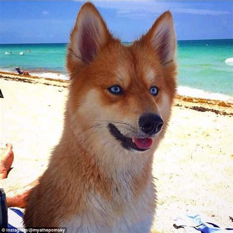 cross between a pomeranian and a husky the pomsky is a pomeranian cross husky who looks like a fox daily mail