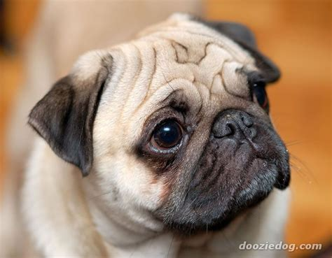 pug breed dogs pug puppies breed breeds picture