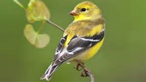 yellow bird backyard birds the bird food store