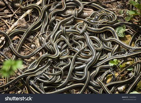 Garter Snake Mating Redsided Garter Snake Mating Narcisse Stock Photo