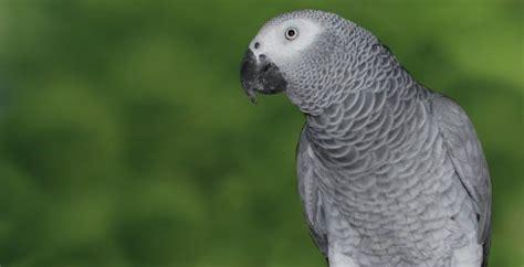 pappagallo cenerino alimentazione psittacus erithacus cenerino