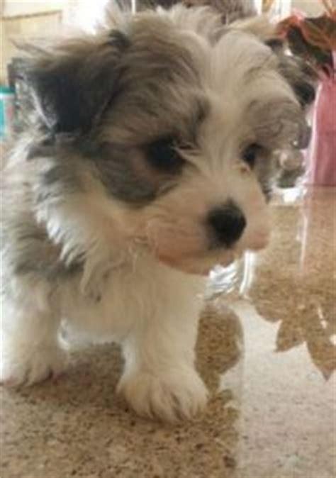 havanese coton mix 1000 ideas about havanese puppies on havanese puppies havanese dogs and