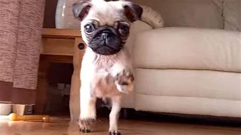 happy pug puppy this adorable pug puppy will make you dizzy and giddy with happiness