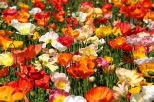 A Sea Of Flowers Abc News Australian Broadcasting Flowers In Australian Gardens