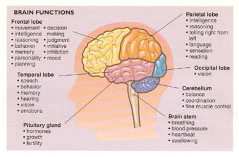 brain sections and what they do brain parts and what they do bulletin boards pinterest