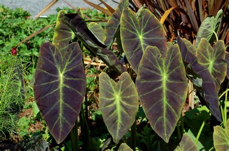 how to grow and care for elephant ear plants