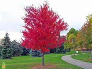 Flowering Shrubs Zone - autumn blaze maple tree for sale the planting tree