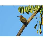 Aves De Rep&250blica Dominicana Y Hait&237 Gu&237a Valiosa Para