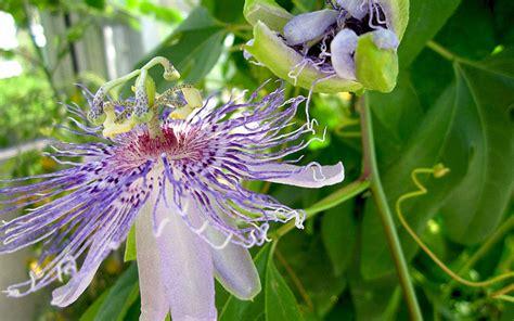 Passiflora Incarnata Pflanze Kaufen 3647 by Passionsblume Heilend Pflanze Passiflora Incarnata