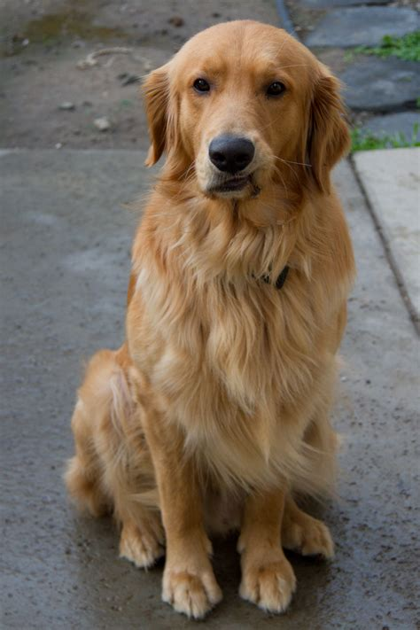 field golden retrievers golden retriever hair cut