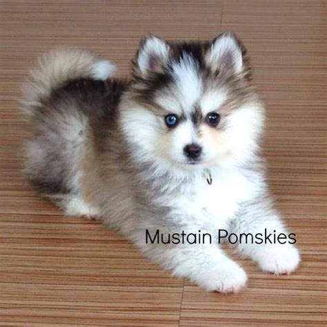 husky and pomeranian mix for sale the 25 best pomsky for sale ideas on pomsky for sale pomsky puppies