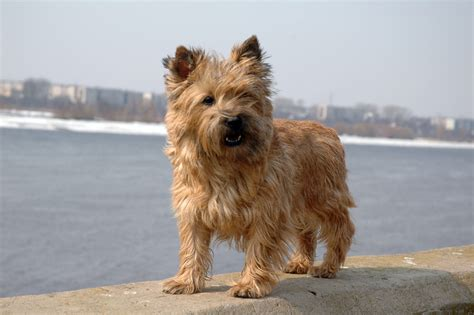 cairn terrier hairstyles cairn terrier hair cuts newhairstylesformen2014 com