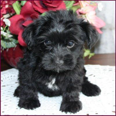 yorkie poo puppies seattle white poodle yorkie mix www pixshark images galleries with a bite