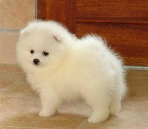 teacup pomeranian sale cheap 1000 images about pomeranian on pomeranian puppies for sale pomeranians