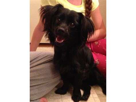 black spikey fur dog found dog black long haired chihuahua banning ca patch