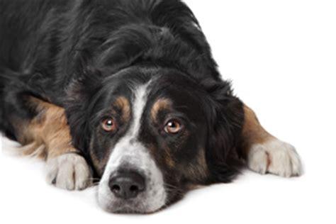 do dogs prostates sterkspruitveterinaryclinic co za pet tips
