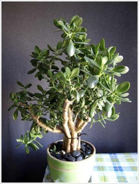 great house plants crassula argentea common jade succulent great house plant