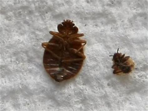 i found one bed bug lincoln center dressing rooms have bedbugs report says