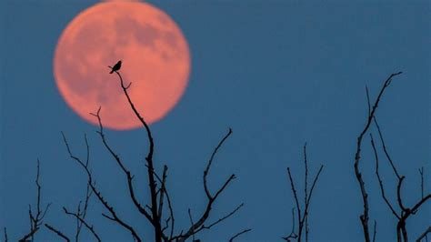 strawberry moon strawberry moon lights up sky in rare lunar event abc news