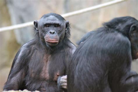 Great ape personhood - Wikipedia