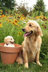 when will my golden retriever be grown 17 best images about