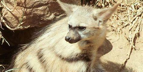 Aardwolf | Proteles Cristata | African Mammals