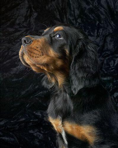 gordon setter dog names 246 best dogs gordon setter images on pinterest gordon