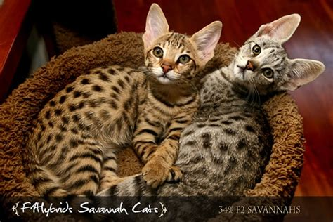 Top 5 of most expensive cats in the world   Cats Around