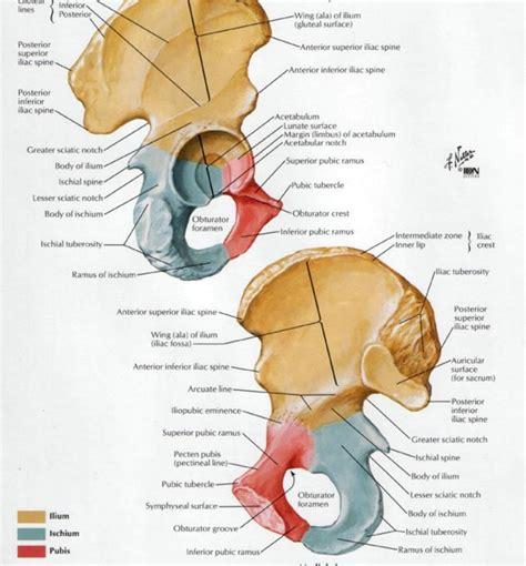 hipbone section hip bone diagram hip get free image about wiring diagram
