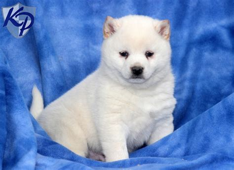 shiba inu puppies for sale in pa shiba inu mix puppies for sale in pa breeds picture