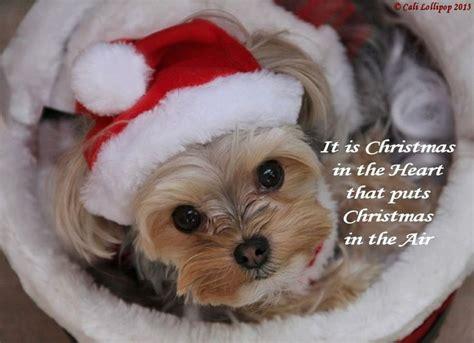 images of christmas yorkies christmas yorkie yorkies pinterest