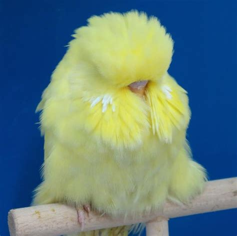 budgie colors budgie colors www imgkid the image kid has it
