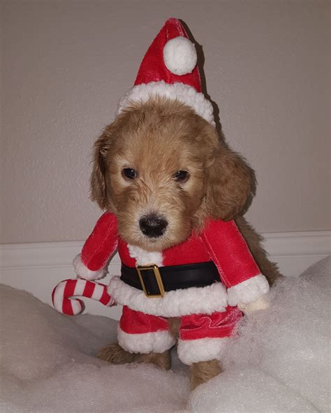 goldendoodle puppy washington state goldendoodle washington