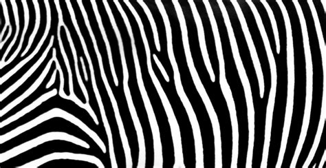 Zebra Stripes Pattern - Stock Image - GenStockPhoto