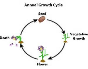 diagram of a tomato plant diagram free engine image for