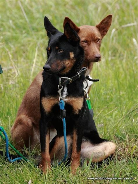 bench dogs for sale bench kelpie puppies sale 28 images bench saws for