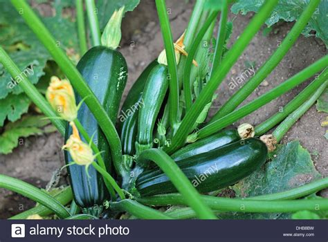 fruit zucchini zucchini plant fruits and flowers selective focus on