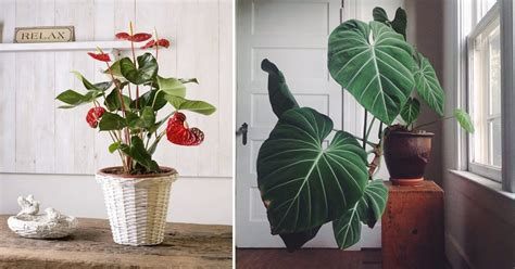 romantic heart shaped leaf plants  grow indoors