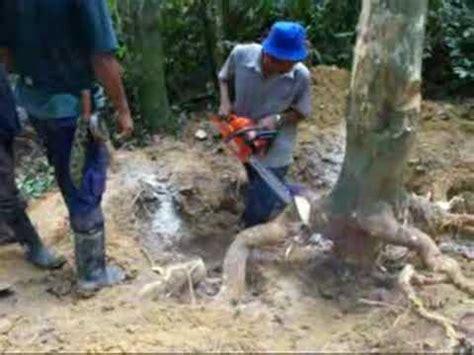 alat pemanjat pokok kelapa tebang pokok gaharu di manong doovi