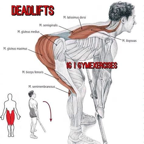 exercises muscles involved muscles gluteus