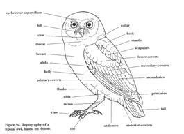 snowy owl diagram owl parts figure 2 burrowing owl diagram great