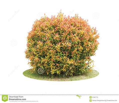 colorful shrub of pigeon berry tree stock photo image