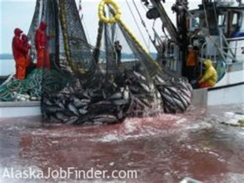 alaska fishing boat summer jobs pay alaska commercial salmon fisheries jobs harvest information